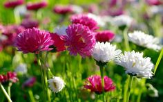 Chrysanthemen herbstblumen gartenblumen pflanzenideen