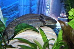 Michonne (axolotl) - Yummypets