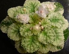 african violet watermelon snow - Google Search