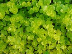 Tried & True Goldilocks lysimachia is a low growing perennial that makes the perfect spiller plant.