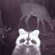 This wildlife cam photo looks like a raccoon took a selfie with his friends