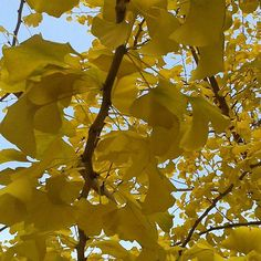 Ginko Biloba - Herbstsinfonie in Gelb Instagram Posts, Yellow