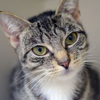 Name:FloralColor:Brown Breed:Domestic ShorthairGender:FemaleAge:1 year  424 E 92nd St  New York, NY 10128  (212) 876-7700
