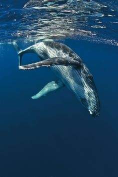 Humpback whale diving into the blue depths. Photo Animaliere, Save The Whales, Whale Art, Wale, Delphine, Humpback Whale, Whale Sharks, Ocean Creatures, Blue Whale