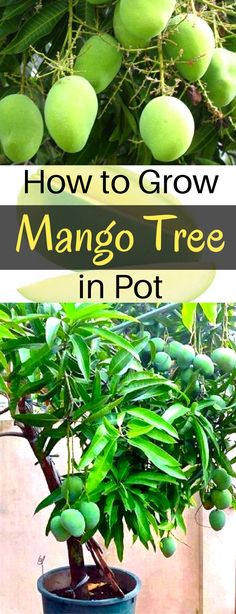 Container Gardening Ideas How to grow mango tree in pot Fruit Trees In Containers, Potted Fruit Trees, Fruit Tree Garden, Dwarf Fruit Trees, Growing Fruit Trees, Growing Herbs, Growing Tree, Growing Vegetables, Trees To Plant