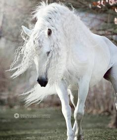 PRE Stallion Express Pyramid in Cherry Blossom. Sundsvall, Sweden – May 2016 … – Friesenpferde u. Most Beautiful Horses, All The Pretty Horses, Beautiful Creatures, Animals Beautiful, Cute Animals, Cute Horses, Horse Love, Andalusian Horse, Majestic Horse