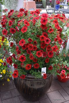 New Plants from Ball Horticulture Container Plants, Container Gardening, Patsy Recipe, Petunia Flower, Easy Waves, All About Plants, Spring Plants, Outside Living, Seasonal Flowers