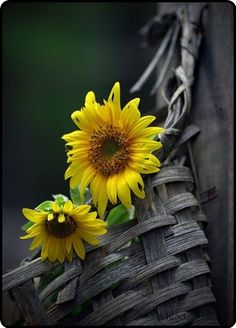 So love sunflowers.....