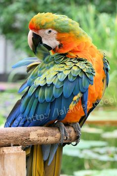 Catalina Macaw: In my opinion, this is the most beautiful of the macaws. It is a cross between a Blue and Gold Macaw and a Scarlet Macaw. They have the friendliness of the blue and gold, and the intelligence of the scarlet. I can't get over how pretty they are! Definitely going to adopt one in the future :)