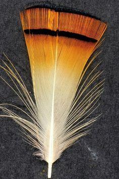 Faisan à cou rouge - 4-6 cm - orange doré naturel - Plumes.fr