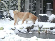 Shiba inu searching the fish in the frozen pond