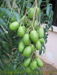 Buah Kedondong is a tropical tree with edible fruit containing a fibrous pit. The fruit is about the size of a plum with a  sour taste