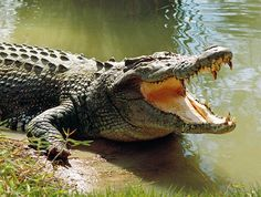 saltwater-crocodile