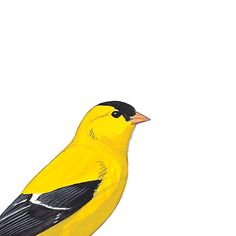 American Goldfinch, male. Painted and © David Sibley