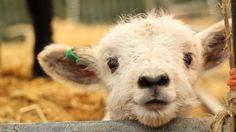 animals-of-the-world: Cute Lamb by Su—May Cute Creatures, Beautiful Creatures, Animals Beautiful, Cute Baby Animals, Farm Animals, Animals And Pets, Zebras, Wooly Bully, Cute Lamb
