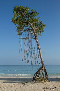 Red mangrove tree! by gigi50