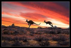 roos in the Outback Australia Outback Australia, Visit Australia, South Australia, Australia Travel, Auras, South Wales, Australian Photography, Thing 1, Thinking Day
