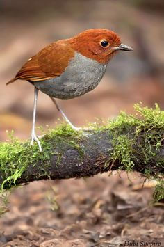 Bicolored Antpitta (Grallaria rufocinerea) *Threatened by habitat loss.how many times must I see this preventable reason for bird species loss? Rare Birds, Exotic Birds, Colorful Birds, Pretty Birds, Beautiful Birds, Animals Beautiful, Kinds Of Birds, Bird Pictures, Little Birds
