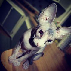 Sphynx cat. The hairless cat.