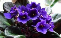 violetas flores - Pesquisa Google