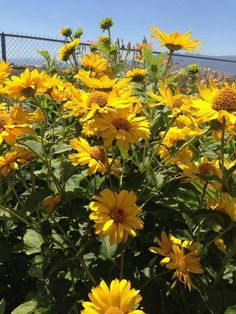 Heliopsis-For back of yard