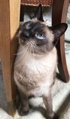 Just a quick chat with jack the siamese cat after his adventure from earlier today. Siamese Kittens, Cute Cats And Kittens, I Love Cats, Crazy Cats, Funny Kittens, Bengal Cats, White Kittens, Adorable Kittens, Cutest Animals
