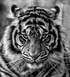 Best tattoo forearm tiger lion Ideas - k ö r p e r w e l t I BEMALT - # Beautiful Cats, Animals Beautiful, Animals Amazing, Art Tigre, Tiger Tattoodesign, Animals And Pets, Cute Animals, Fierce Animals, Exotic Animals