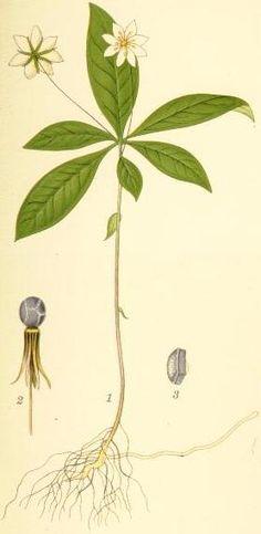 Fil:Trientalis europaea skogsstjärna.jpg