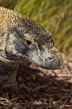 San Diego Zoo - Komodo dragons were unknown by western scientists until 1912.