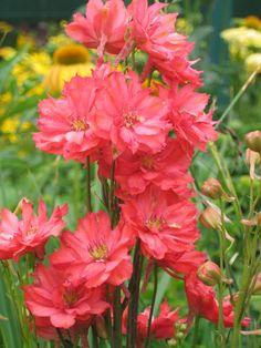 Delphinium 'Red Caroline'