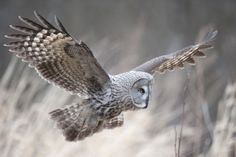 Great Grey Owl in flight by IceAge  Ice on 500px