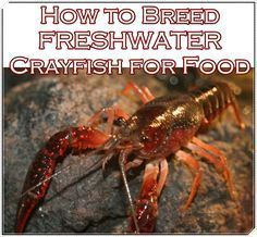 This simple tutorial of how to breed freshwater crayfish for food makes a multi prong approach to self sufficient food system on your homestead easier. Mak