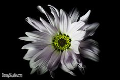 This photo looks so dull on Pinterest. :( Camera: Sony A33 + Minolta 50mm + .35x Semi Fisheye  Description: Flower on a black backdrop with a hand held LED light panel.  F-stop: f/13 Exposure Time: 1/20 ISO speed: 800 Exposure bias: 0 Focal length: 70mm @ macro Flash Mode: No flash, compulsory 35mm focal length: 75  www.decaystudio.com #photography #easternshore #delmarva #maryland #flower #flowerphotography