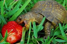 Happy Turtle_this reminds me of my little strawberry loving girl.she would love to be friends with this turtle Cute Tortoise, Tortoise Turtle, Tortoise Care, Tortoise Habitat, Baby Tortoise, Reptile Habitat, Sulcata Tortoise, Happy Animals, Funny Animal Pictures