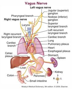 Looking for online definition of vagus nerve in the Medical Dictionary? What is vagus nerve? Meaning of vagus nerve medical term. What does vagus nerve mean? Nerve Anatomy, Yoga Anatomy, Cranial Nerves Anatomy, Vagus Nerve Damage, Autonomic Nervous System, Medical Anatomy, Human Anatomy And Physiology, Body Systems, Physical Education