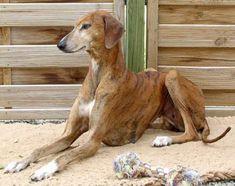 African Azawakh dog