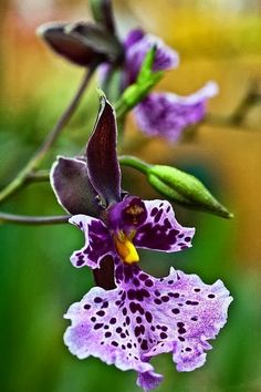 ORCHIDS: Orchid Caucaea Rhodosticta