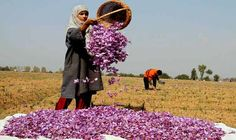 #Relish the #beauty of #saffron #flowers dancing in the wind #Pampore – #Kashmir