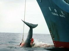 Australia wins whaling case against Japan in The Hague | The Courier-Mail / March 31st, 2014 http://www.couriermail.com.au/news/national/australia-wins-whaling-case-against-japan-in-the-hague/story-fnihslxi-1226870210553?utm_campaign=engagement