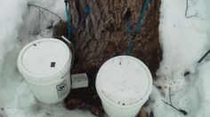 Sticky-fingered thieves target sap from Maine's trees.  Sticky-fingered thieves are stealing the sap right out of Maine's maple trees.  With little more than a spout-like tap and a bucket, people are looting the liquid out of trees on private property and hauling it away to turn into sweet maple syrup.  There's been an increase in reported sap thefts the past couple of years, but Maine Forest Service rangers aren't sure why.