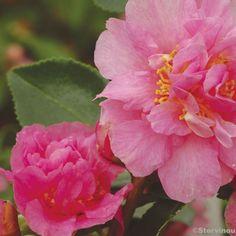 Camélia d automne - Camellia sasanqua Showa no Sakae