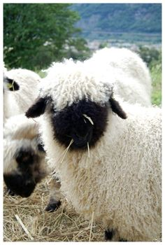 Valais black-faced sheep - I want one!
