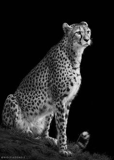 cheetah by Wolf Ademeit on 500px