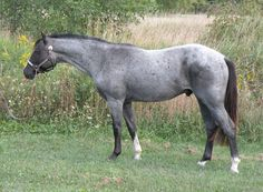 Mighty Blue Print   2009 AQHA/APHA blue roan stallion (Ee, aa, nPrl, nO, Rnrn)  Recessive for Pearl, showing Minimal Frame Overo Markings.