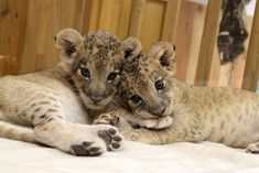 拡大画像 002 | 双子のライオンの赤ちゃんの寝顔を紹介 - 富士サファリパーク | マイナビニュース