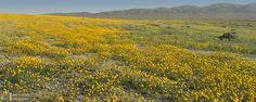 Golden Hillside  Simmler Road, Carrizo Plain National Monument, San Luis Obispo County, CA, 4/1/2016  Linhof Master Technika 2000 camera, 150mm Schneider Symmar-S f/5.6 lens, polarizer, Fujicolor Pro 160S film, 3 exposures, 206 megapixels
