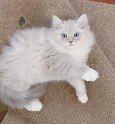 - Ragdoll of the Kitten of Month Cats Ragdoll Kittens, Cats And Kittens, Maine Coon, Cat Toilet Training, Cat With Blue Eyes, Kitten Care, Kitten For Sale, Lhasa Apso, Beautiful Cats