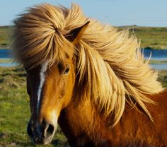 Icelandic Horse by GummiG!, via Flickr