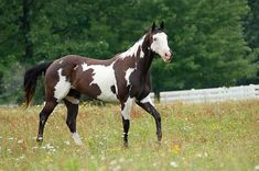 Image shared by Berk. Find images and videos about paint, horse and pinto on We Heart It - the app to get lost in what you love. American Paint Horse, American Quarter Horse, Quarter Horses, Cute Horses, Pretty Horses, Beautiful Horses, Paint Horses For Sale, Palomino, Mustangs