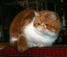 Visualizza Pagine - Gatti Persiani - Allevamento Gatti Esotici